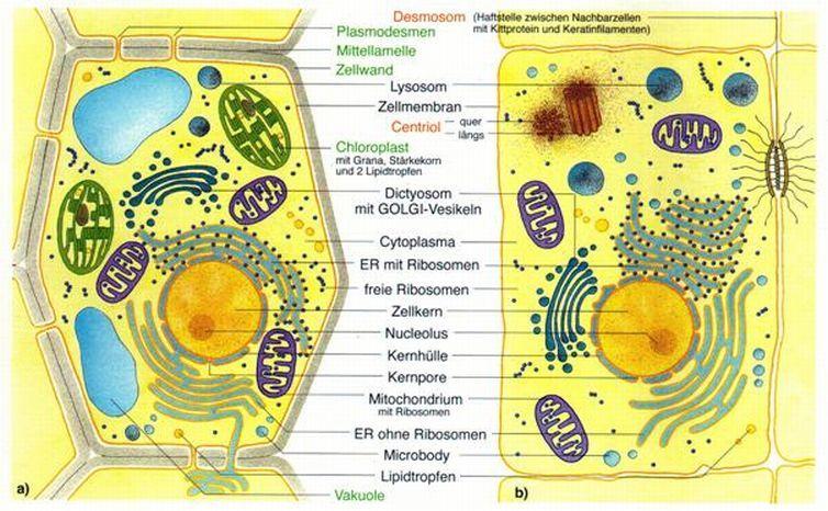 Vergleich Tierische Und Pflanzliche Zelle Arbeitsblatt Lösungen ...