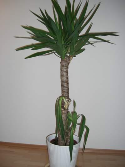 wohnzimmer pflanzen palme – dumss